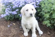 Labradoodle Puppies For Sale, Labrador Retriever, Female, Dogs, Animals, Labrador Retrievers, Animales, Animaux, Pet Dogs