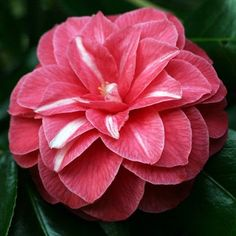 ~Camellia japonica 'Rubescens Major' (France, 1866)