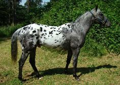 Wild Leopard Appaloosa | The Lands Of Evelon • View topic - * YOU could help with feature ...