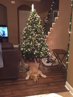 This furry guy bravely waiting for presents all night long: | 38 Times Golden Retrievers Were The Absolute Best