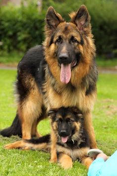 Augusto deoliveira inside edition show - German Shepherd Names And Pictures - - Hund - Hunde Beautiful Dogs, Animals Beautiful, German Shepherd Puppies, German Shepherds, Long Haired German Shepherd, Yorkshire Terrier Puppies, Cute Dogs And Puppies, Doggies, Cute Baby Animals