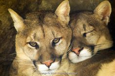 Ricardo Reitmeyer: Mountain Lion Affectionate Pair Sleep Together in Cave Shadow - Stock Photos & Images | Stockafe.com #stockafe #stockphotography