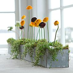 Ranunculus all in a row in The Galvanized Trough Planter. #terrainflowermarket #DIY