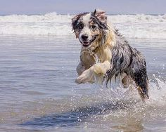 Australian Shepherd Photo of the Month — Photo: Todd Wynia, Aussie: Jasper