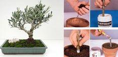 Voilà la méthode pour faire pousser un arbre d'olive merveilleux à partir d'une branche coupée et plantée – Maison Cuisine