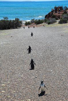 """Más de los pinguinos de Punta Tombo  """"La Reserva de Punta Tombo es la colonia de Pingüinos de Magallanes más importante de la costa patagónica. Aquí se dan cita cada año más de un millón y medio de aves, que llegan para aparearse y tener sus crías."""""""