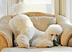 "See our web site for additional information on ""french poodle puppies"". It is a great place to learn more. Positive Dog Training, Training Your Puppy, Dog Training Tips, I Love Dogs, Cute Dogs, Poodle Cuts, Dog Behavior, Dog Life, Rescue Dogs"