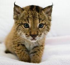 El #lince ibérico es uno de los  mamíferos de la península ibérica que están en extinción; no dejemos que sea demasiado tarde y ayudemos a que este felino siga ayudando a los ecosistemas ibéricos