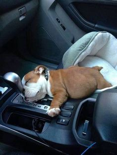 Too tired to drive... Bulldog puppy