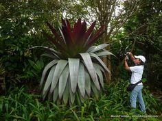 Bromelia reina o bromelia gigante (Alcantarea imperialis). Hotel Bougainvillea, Santo Domingo de Heredia, Costa Rica.