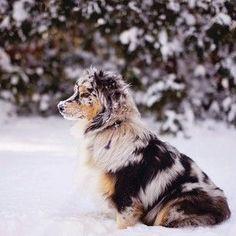 Their coat is wonderfully unique… | 19 Reasons Australian Shepherds Are The Best-Looking Dogs In The World #AustralianShepherd