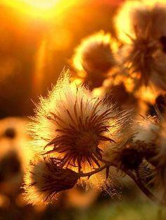 sun on thistle sunshine photography flower