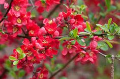 quince plant - Google Search