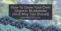 How To Grow Your Own Organic Blueberries (And Why You Should) - Herbs Info Natural Insecticide, Natural Pesticides, Home Grown Vegetables, Growing Vegetables, Veggies, Growing Flowers, Growing Plants, Gardening For Beginners, Gardening Tips