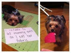 From DOGSHAMING:  I get mad when all the attention isn't on me when mommy tries to make a quilt so I will first lay in the middle of the project and if that doesn't work I steal the fabric pieces and eat them!  Could be my own yorkie. :-)