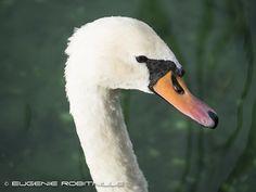 Royal Mute Swan - cygne tuberculé