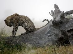 See a photo of a juvenile leopard standing on a fallen tree on a misty morning in South Africa, from National Geographic. Especie Animal, Mundo Animal, Beautiful Creatures, Animals Beautiful, Cute Animals, Wild Animals, Leopard Pictures, Animal Pictures, Gato Grande