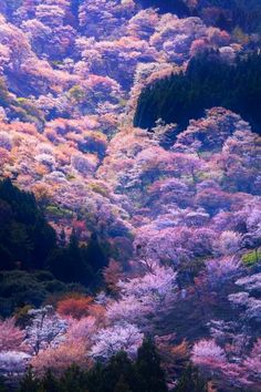 Will be too late for the cherry blossoms but this is incredible! Will have to go back to see them someday! - Cherry tree in full bloom,Yoshino, Nara, Japan Trucage Photo, Beautiful World, Beautiful Places, Cherry Blossom Japan, Cherry Blossoms, Art Asiatique, Blossom Trees, Cherry Tree, Japan Travel