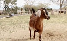 Daily Cute: This 3-Legged Goat Couldn't Be Happier | Care2 Causes