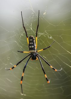 Golden orb web spider – Araneomorph, giant, three dimensional webs, main strands are golden Volunteer Abroad, Kruger National Park, Animal Sketches, Nature Reserve, Amazing Art, South Africa, Insects, Wildlife, African
