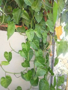 Kingdom:Plantae Phylum:Angiosperms Class: Monocots Order: Alismatales Family: Araceae Subfamily: Aroideae Tribe:Caladieae Genus:Xanthosoma