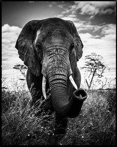 elephant curieux - laurent baheux
