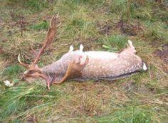 Damhirsch Jagd für Jungjäger in Kroatien
