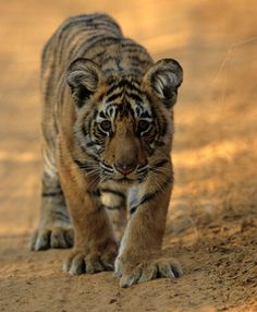 Even as a cub Broken Tail was charismatic exuberant & bold! Photo from the incredible documentary 'Broken Tail: A Tiger's Last Journey' via PBS Nature