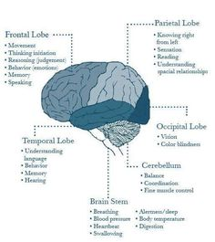 Differences in CVA symptoms by sites affected. From The Nurse Path Brain Anatomy, Anatomy And Physiology, Human Anatomy, Brain Stem, Brain Science, Life Science, Computer Science, Brain Facts, Nursing Notes