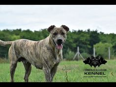 Trick Dog Class 20 - Hoop Jump - Skok přes kruh - Novice Trick Dog Training with Cimarron Uruguayo dogs from Cerberus Illusion kennel