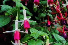 cum se inmulteste fuchsia (cercelusul) Vegetables, Gardening, Urban, Plant, Lawn And Garden, Vegetable Recipes, Veggies, Horticulture