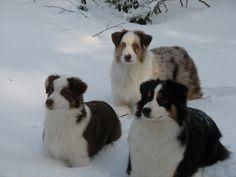 Australian Shepherds love the snow