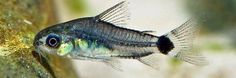 Kirysek Karłowaty - Sierpoplamy - ryba akwariowa fot.hobbykwekers.nl