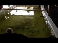 Here is a quick video showing my trout tank Fish Farming, Rainbow Trout, Aquaponics, Big, Youtube, Youtubers, Youtube Movies