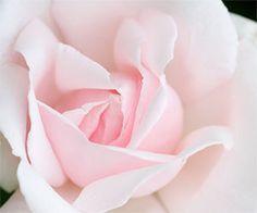 pale pink, precious...