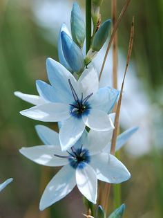 Ixia viridiflora by dracophylla, via Flickr