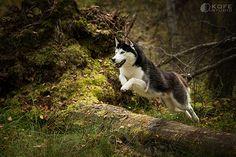 Siberian Husky photographbyKOFEstudio