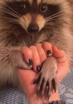 That was probably a perfectly good sweater cuff a few minutes before this photo was taken. Animals And Pets, Baby Animals, Funny Animals, Cute Animals, Pet Raccoon, Spirit Animal, Animals Beautiful, Pet Birds, Fur Babies