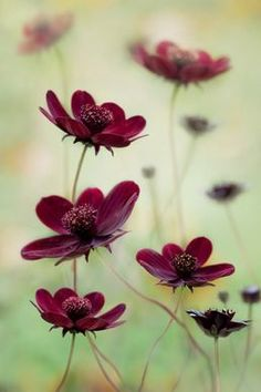 Cosmos Atrosanguineus 'Choca Mocha'  ...gonna look for this one.