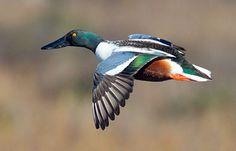 Northern Shoveler duck - Google  birdphotograpy.com