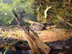 Quak!  #Frosch #frog #see #baggersee