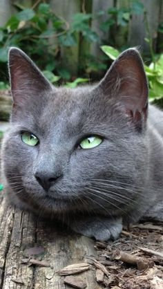 If you are looking for a truly unique and beautiful kitten you don't have to look much further than the Russian Blue breed. Delightful Discover The Russian Blue Cats Ideas. Beautiful Cats, Animals Beautiful, Cute Animals, Blue Cats, Grey Cats, I Love Cats, Cool Cats, Kittens Cutest, Cats And Kittens