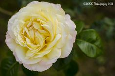 Large yellow/white rose fully blooming. Taken using a 35mm Prime Lens. Pic 2 of 3 of this flower.