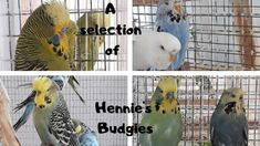 Hennie's Budgies – Everything You Need to Know About Budgerigars Show Budgies, Book Recommendations, This Or That Questions