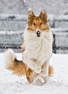 A Beautiful Collie in the Snow! (no tulip ears on this one though, show ring requires their ears to fold at the top just a bit, considered perfection, but this one's perfection to me anyways!)