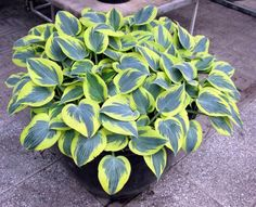 Hosta Ben Vernoory - medium 5/2016 Osterbrocks. Edges will turn whiter in summer