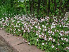 geranium biokovo - Google Search