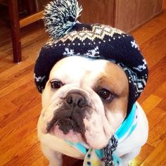 My Bullie is having one of these before he goes out and makes yellow snow!! #EnglishBulldog #DogFashion