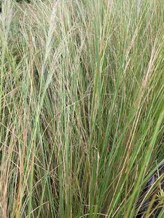 Gongoni grass (Aristida junciformis) 🎋 Grasses, Trees To Plant, Evergreen, Perennials, Herbs, Frost, Plants, Lavender, Deep