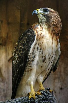 Red Shouldered Hawk I Have Seen Them Grab Squirrels And